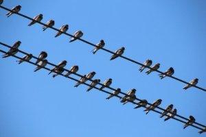 Birds Sparrows Power Line Sperling  - sannc / Pixabay
